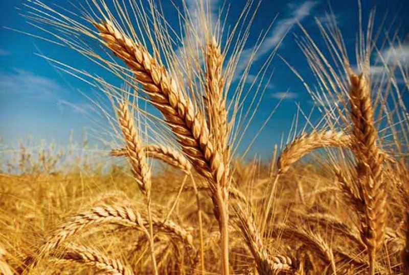 پیشبینی خرید بیش از ۶۰۰ هزار تن گندم در آذربایجانشرقی